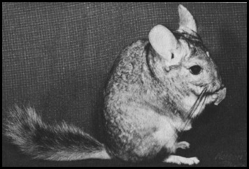 Costina type chinchilla